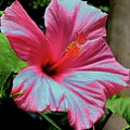 Hibiscus With A Solarize Effect by Rose Santuci-Sofranko