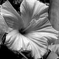 Hibiscus With An Infrared Effect by Rose Santuci-Sofranko