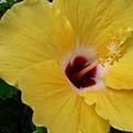 Hibiscus Yellow by Florene Welebny