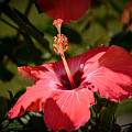 Hibiscus  by Zina Stromberg