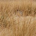 Hidden Mule Deer by Dennis Hammer