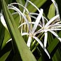 Hidden Swamp Lily by Rosalie Scanlon