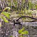 Hide And Seek Ducks by William Tasker