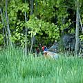 Hiding In The Grass. Pheasant by Jouko Lehto