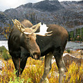 High Country Moose by Robert Bissett