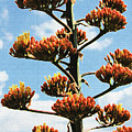 High Country Red Bud Agave by Tom Janca
