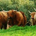 Highland Cattle by Angel Ciesniarska