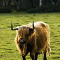 Highland Cattle by Angel  Tarantella