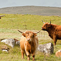 Highland Cattle by Colette Panaioti