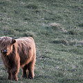 Highland Cattle by Nathan Larson
