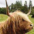 Highland Coo by Christi Kraft