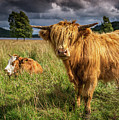 Highland Cow by Framing Places