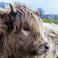 Highland Cow by Gary Ellis