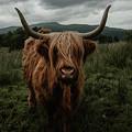 Highland Cow by Marina Weishaupt