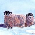 Highland Sheep by Sheila Wedegis