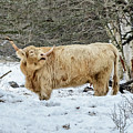 Highlander In Winter by Robert Mitchell