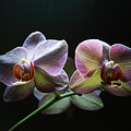 Highlighted Orchids by Tom Bonhardt