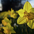 Highway Daffodil by Mark Hunter
