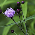 Hill's Thistle Flower And Buds by Les Palenik