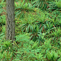 Hillside Ferns by Greg Vaughn - Printscapes