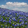 Hillside Texas Bluebonnets by David and Carol Kelly