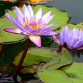Hilo Water Lily 2 by Randall Weidner