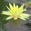 Hilo Water Lily 4 by Randall Weidner