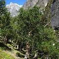 Himalayan Bhojpatra Trees 4 by Oliver Riedel