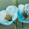 Himalayan Blue Poppy by American School