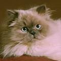 Himalayan Cat by Crystal Garner