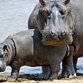 Hippo by Dorothy Binder