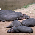 Hippo Heaven by Carl Purcell