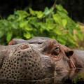 Hippo by Kristie Ferrick