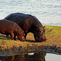 Hippo Mother And Child - Botswana Africa by Pixabay