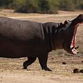 Hippo On The Land by Mareko Marciniak
