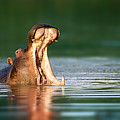 Hippopotamus by Johan Swanepoel