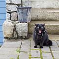 Hissing Cat by Michael Madi