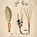 Historia Naturalis Palmarum by MotionAge Designs