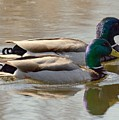 Two Mallards Swimming Quietly by Charlaine Jean