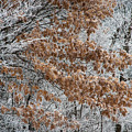 Hoarfrost Trees by Fred Lassmann