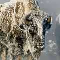 Hoarfrosted Bison In Yellowstone by Sandra Bronstein