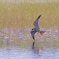 Hobby Skimming Water by Peter Walkden