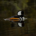 Hooded Merganser Drake Gliding By by Dale Kauzlaric