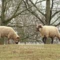 Hog Island Sheep 8070 by Captain Debbie Ritter