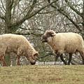 Hog Island Sheep 8071 by Captain Debbie Ritter