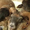 Hog Island Sheep 8384 by Captain Debbie Ritter