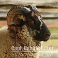 Hog Island Sheep 8547 by Captain Debbie Ritter