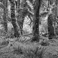 Hoh Rain Forest 3371 by Bob Neiman