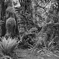 Hoh Rain Forest 3389 by Bob Neiman
