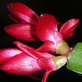 Holiday Cactus - A Close Up by Lucyna A M Green